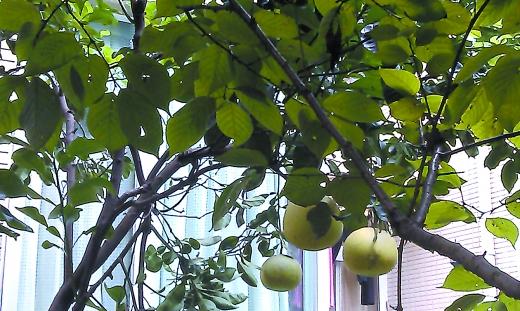 小区树上的柚子不见了?