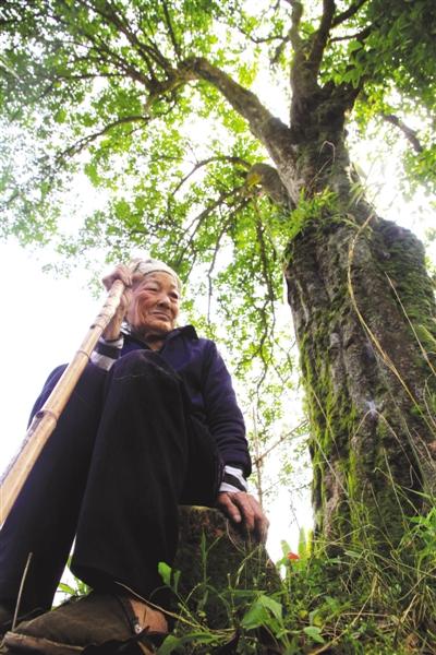 山上,一颗桂花树见证了他们勇敢的爱情.