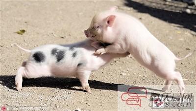 可爱图片萌萌哒小猪